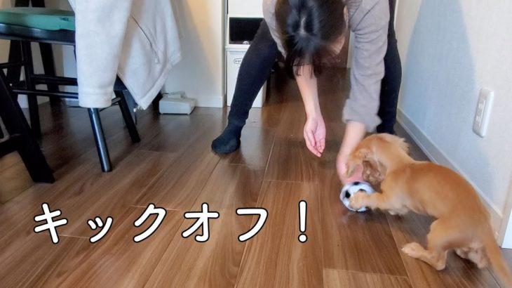 【ミニチュアダックスフンド】100円ショップのサッカーボールで大はしゃぎ!