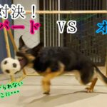 シェパード犬、DIYのサッカーゴールでオヤジとガチPK対決!【German Shepherd】 My Dog Plays Soccer With Her Owner!