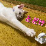 紙ボールでサッカー選手のようにもの凄いスピードで上手に遊ぶ弟猫