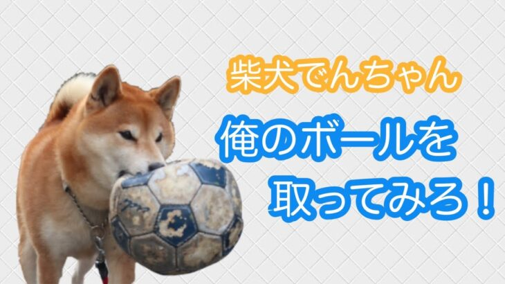 柴犬でんちゃん サッカー楽しかったなぁ