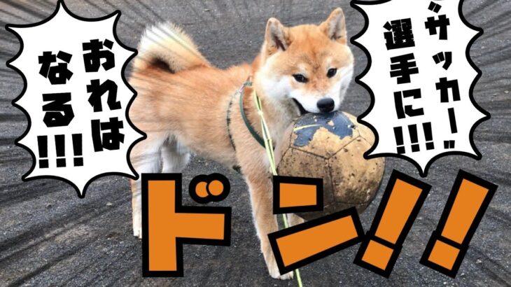 【柴犬】サッカーボールが好きすぎる犬