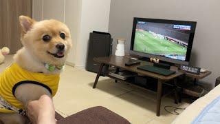 サッカー日本代表の試合に、ポメくんも大興奮!!!