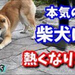 【柴犬】がムキになってサッカーするとこんな感じでです!shiba inu