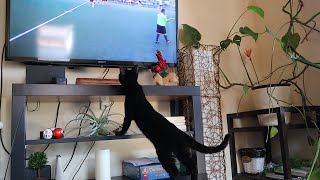 サッカー観戦に夢中のクロアチア猫⚽【クロすけ日記🐾】