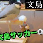 【爆笑】文鳥劇場 文鳥サッカー⚽️ #125